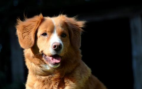 Nova scotia duck tolling retriever / toller